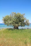 Olive tree by the sea Stock Photo