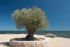 Olive tree on the seashore. On sea horizon Royalty Free Stock Photography
