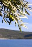 Olive tree at seaside Stock Photos