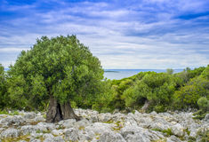 Olive tree on seaside. Fresh Adriatic fish ready for domestic grill ( gradela) two hours after catch from sea Royalty Free Stock Photography