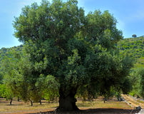 Olive tree secular in the countryside of Apulia Stock Images