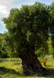 Olive tree secular in the countryside of Apulia Stock Photography