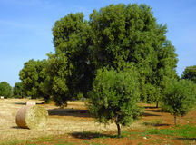 Olive tree secular in the countryside of Apulia. Italy Royalty Free Stock Photo