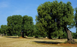 Olive tree secular in the countryside of Apulia. Stock Images