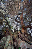 Olive tree secular Royalty Free Stock Photography
