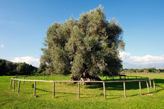 Olive tree secular Stock Photo