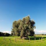 Olive tree secular Stock Image