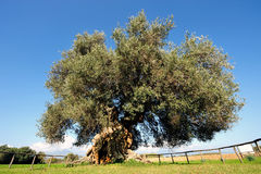 Olive tree secular Royalty Free Stock Photo