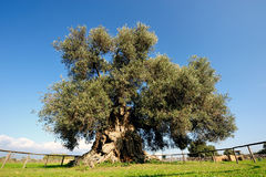 Olive tree secular Stock Photography