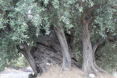 Olive tree. A several hundred years old olive tree Stock Images