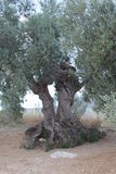Olive tree. A several hundred years old olive tree stock image