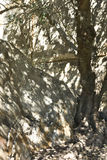 Olive tree shadow Stock Image