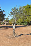 Olive Tree Showing How It è irrigata Fotografia Stock Libera da Diritti