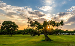 Olive Tree in Sicila Royalty Free Stock Photography