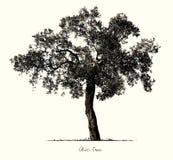 Olive Tree-silhouet Stock Afbeeldingen