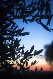 Olive tree silhouette at sunset in summer Royalty Free Stock Photography