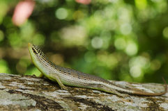 Olive Tree Skink Royalty Free Stock Photos