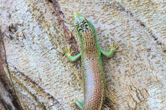Olive Tree Skink. Close up Olive Tree Skink in deep forest, Dasia olivacea stock image