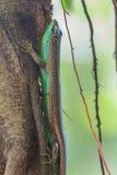 Olive Tree Skink Stock Photography