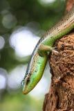 Olive Tree Skink Stock Image