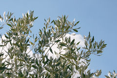 Olive tree and sky Royalty Free Stock Images