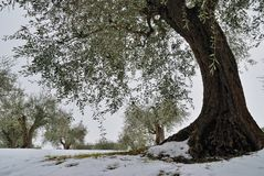 Olive tree and snow Stock Image