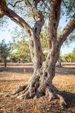 Olive tree in South Italy Royalty Free Stock Photos