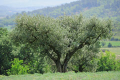 Olive tree. In the spring field Royalty Free Stock Photo