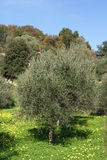 Olive tree in Spring season, Greece Royalty Free Stock Photos