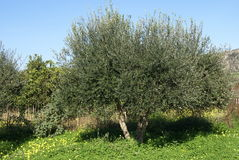 Olive tree in Spring season Stock Images