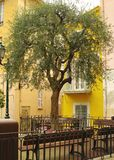 Olive tree on a  square. Olive tree on villefranche sur mer square on french riviera Stock Photography
