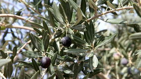 Olive stock footage