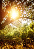 Olive tree in sun light Royalty Free Stock Photo