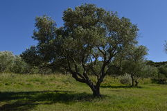 Olive tree in the sun Stock Image