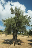 Olive tree at the sunny day Royalty Free Stock Photos