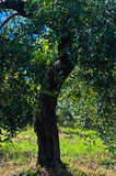 Olive tree on a sunny morning at mediterranean coast in Sithonia Royalty Free Stock Images