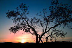 Olive tree at sunset Stock Images