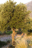 Olive tree in sunshine rays.  branch with green and blue fruits Royalty Free Stock Photography