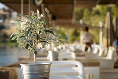 Olive tree on table 4 Stock Image