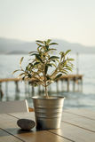 Olive tree on table 3 Stock Photography