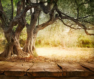 Olive tree with table Stock Photo