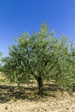 Olive tree. S in summer in the Tuscan countryside Stock Photo