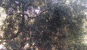 Olive tree Stock Photos
