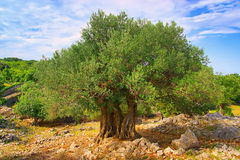 Olive tree trunk Royalty Free Stock Images