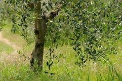 Olive tree trunk Stock Photos