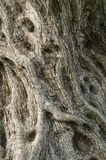 Olive tree trunk Stock Photo
