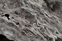 Olive tree trunk Stock Image