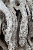Olive tree trunk. Close up of olive tree trunk Royalty Free Stock Photo