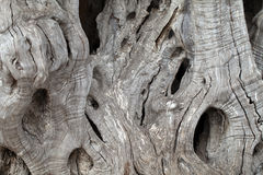 Olive tree trunk. Close up of olive tree trunk Stock Image