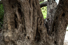 Olive tree trunk Royalty Free Stock Image
